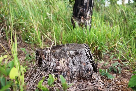 Rừng thông Lâm Đồng tiếp tục bị đầu độc, chết đứng - Ảnh 10.