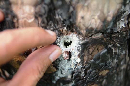 Rừng thông Lâm Đồng tiếp tục bị đầu độc, chết đứng - Ảnh 13.