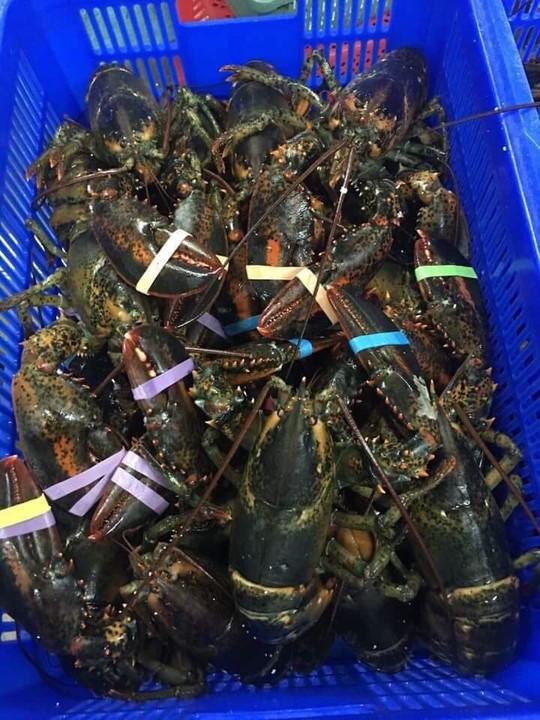 Tôm hùm Alaska về Việt Nam 170.000/kg, rẻ giật mình như tôm ngoài chợ - Ảnh 1.