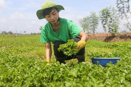 Trồng rau má nghiền lấy bột thu 4 tỉ đồng mỗi năm ở Củ Chi - Ảnh 1.