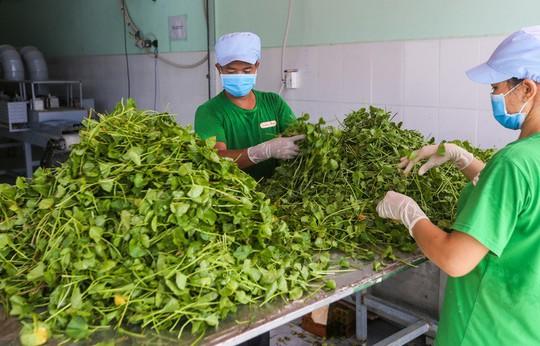 Trồng rau má nghiền lấy bột thu 4 tỉ đồng mỗi năm ở Củ Chi - Ảnh 7.