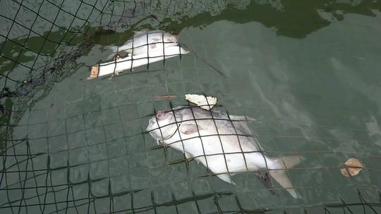 Nguyên nhân cá ở Long Sơn chết hàng loạt là do nhiễm ký sinh trùng quả dưa - Ảnh 4.