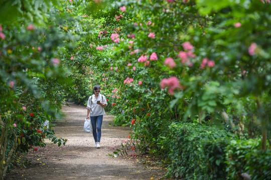 Con đường trăm gốc hoa tường vi đang nở rộ ở Hà Nội - Ảnh 1.