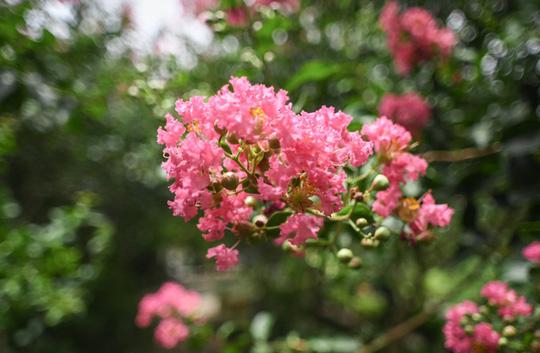Con đường trăm gốc hoa tường vi đang nở rộ ở Hà Nội - Ảnh 3.