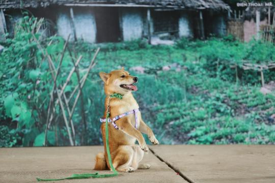 """Nhà sản xuất phản hồi tranh cãi chọn chó Nhật vào phim """"Cậu Vàng"""" - Ảnh 1."""