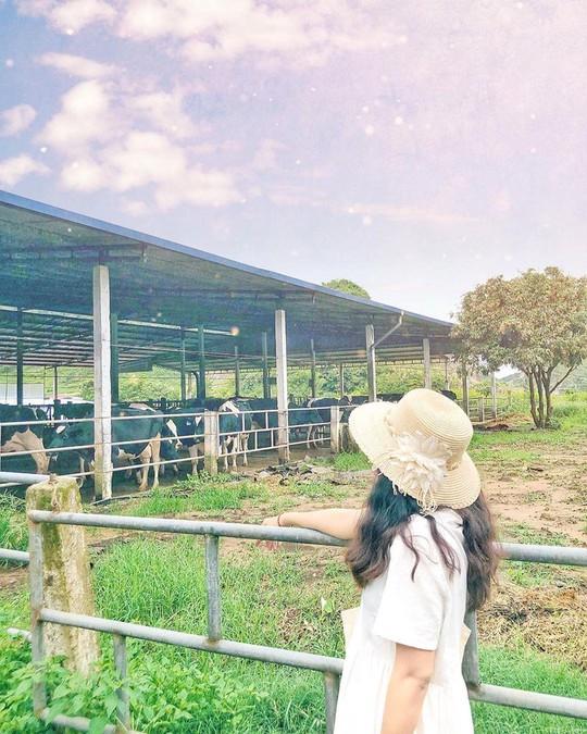 Trại bò sữa check-in tuyệt đẹp ở Mộc Châu thu hút giới trẻ - Ảnh 3.