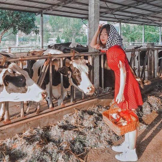 Trại bò sữa check-in tuyệt đẹp ở Mộc Châu thu hút giới trẻ - Ảnh 6.