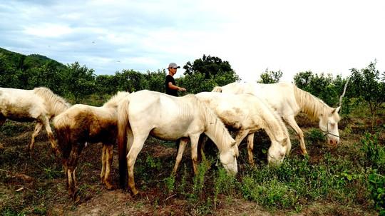 Đàn ngựa bạch trên ốc đảo Ia Rsai - Ảnh 1.
