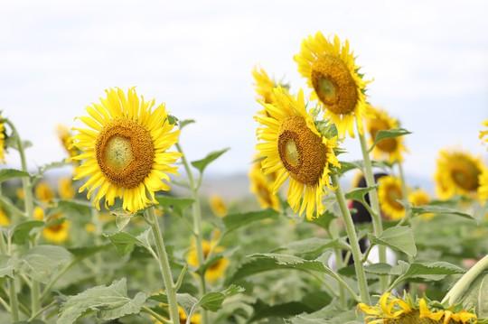 Phát sốt với vườn hoa hướng dương mới xuất hiện ở Quảng Nam - Ảnh 5.