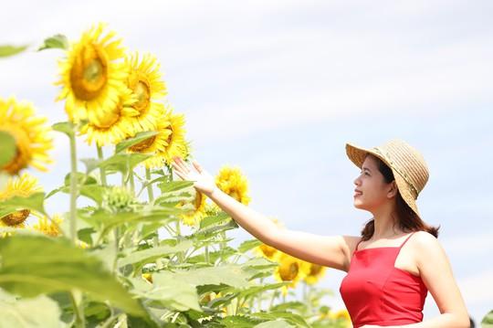 Phát sốt với vườn hoa hướng dương mới xuất hiện ở Quảng Nam - Ảnh 7.