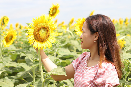Phát sốt với vườn hoa hướng dương mới xuất hiện ở Quảng Nam - Ảnh 18.