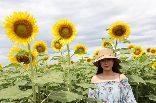 Phát sốt với vườn hoa hướng dương mới xuất hiện ở Quảng Nam - Ảnh 14.
