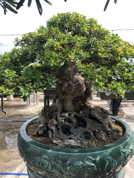 Mãn nhãn với cây ngâu bonsai cổ thụ trị giá hàng tỉ đồng - Ảnh 2.