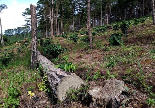 Xót xa cận cảnh rừng thông 30 năm tuổi bị đốt gốc, gọt thân bức tử chết đứng - Ảnh 8.