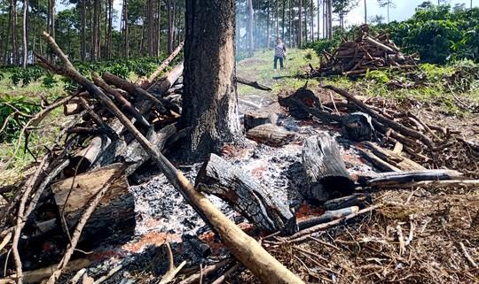 Xót xa cận cảnh rừng thông 30 năm tuổi bị đốt gốc, gọt thân bức tử chết đứng - Ảnh 7.
