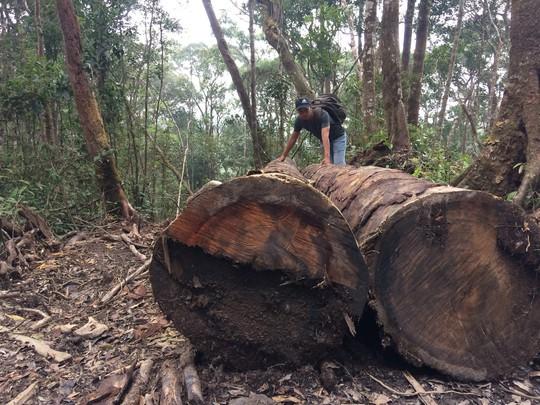Cận cảnh những cây gỗ khủng bị triệt hạ ở Đà Lạt 2 - Ảnh 3.