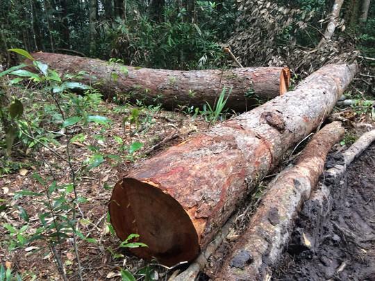 Cận cảnh những cây gỗ khủng bị triệt hạ ở Đà Lạt 2 - Ảnh 4.