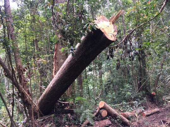 Cận cảnh những cây gỗ khủng bị triệt hạ ở Đà Lạt 2 - Ảnh 5.