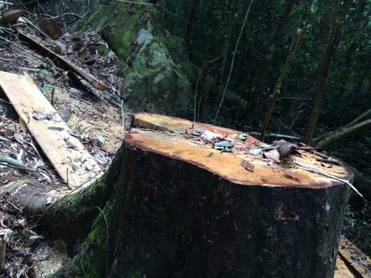Cận cảnh những cây gỗ khủng bị triệt hạ ở Đà Lạt 2 - Ảnh 2.