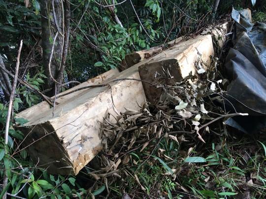 Cận cảnh những cây gỗ khủng bị triệt hạ ở Đà Lạt 2 - Ảnh 6.