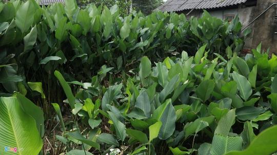 Người vùng trồng lá dong lớn nhất Hà Tĩnh trúng mùa - Ảnh 1.