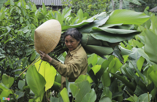 Người vùng trồng lá dong lớn nhất Hà Tĩnh trúng mùa - Ảnh 5.