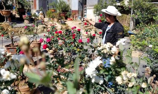 Độc đáo gốc hồng Pháp 70 tuổi đẹp hiếm gặp ở Đà Lạt - Ảnh 8.
