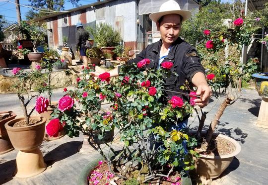 Độc đáo gốc hồng Pháp 70 tuổi đẹp hiếm gặp ở Đà Lạt - Ảnh 7.