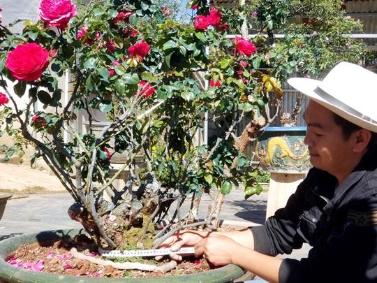 Độc đáo gốc hồng Pháp 70 tuổi đẹp hiếm gặp ở Đà Lạt - Ảnh 6.