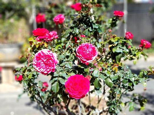 Độc đáo gốc hồng Pháp 70 tuổi đẹp hiếm gặp ở Đà Lạt - Ảnh 2.