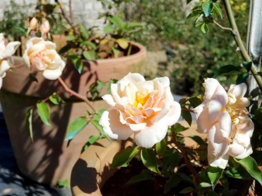 Độc đáo gốc hồng Pháp 70 tuổi đẹp hiếm gặp ở Đà Lạt - Ảnh 12.