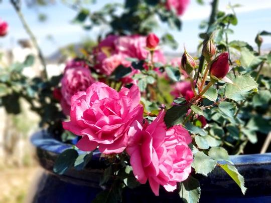 Độc đáo gốc hồng Pháp 70 tuổi đẹp hiếm gặp ở Đà Lạt - Ảnh 11.