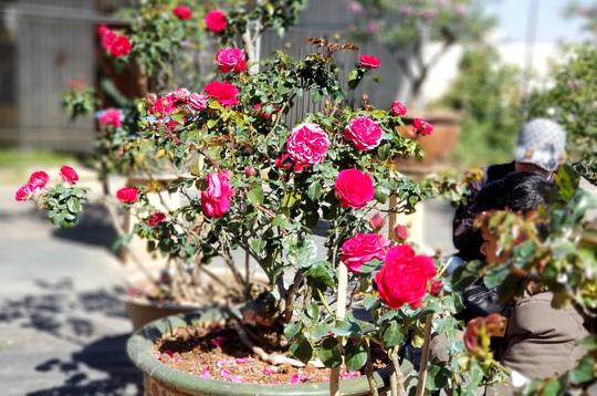 Độc đáo gốc hồng Pháp 70 tuổi đẹp hiếm gặp ở Đà Lạt - Ảnh 4.