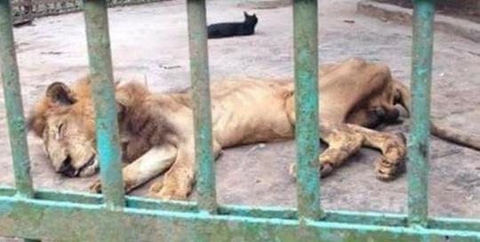 Sudan: Những bộ xương sư tử châu Phi di động, vì đâu nên nỗi? - Ảnh 1.