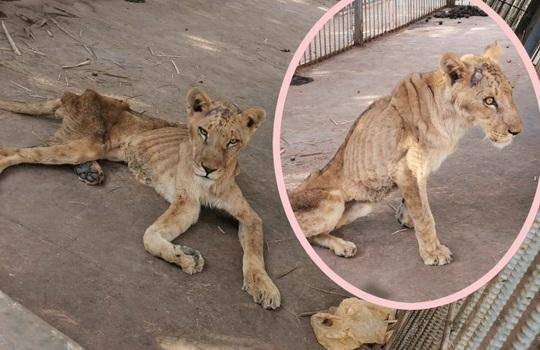 Sudan: Những bộ xương sư tử châu Phi di động, vì đâu nên nỗi? - Ảnh 2.