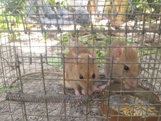 CLIP: Nông dân Cà Mau bắt được cặp chuột lông vàng lạ mắt ngày cuối năm - Ảnh 5.