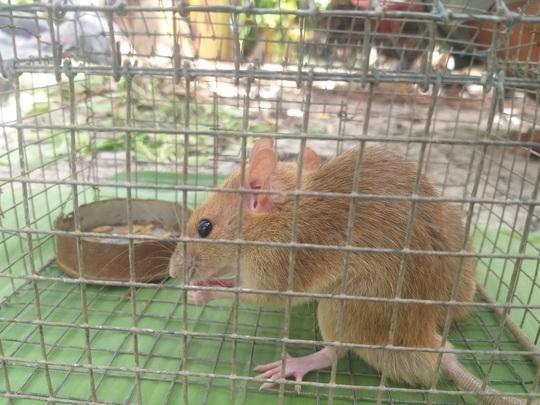 CLIP: Nông dân Cà Mau bắt được cặp chuột lông vàng lạ mắt ngày cuối năm - Ảnh 7.
