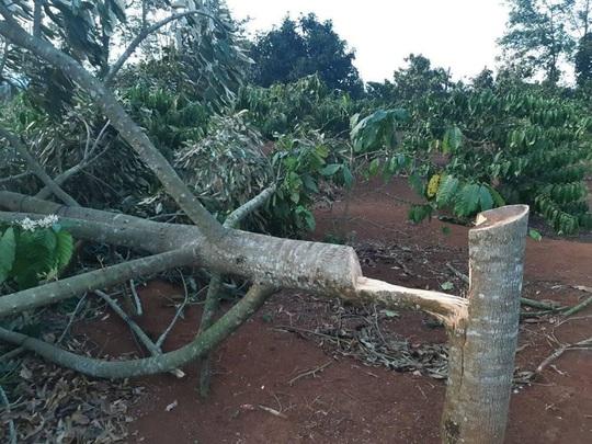 Điêu đứng phát hiện gần 60 cây sầu riêng bị chặt phá trong ngày Tết - Ảnh 1.