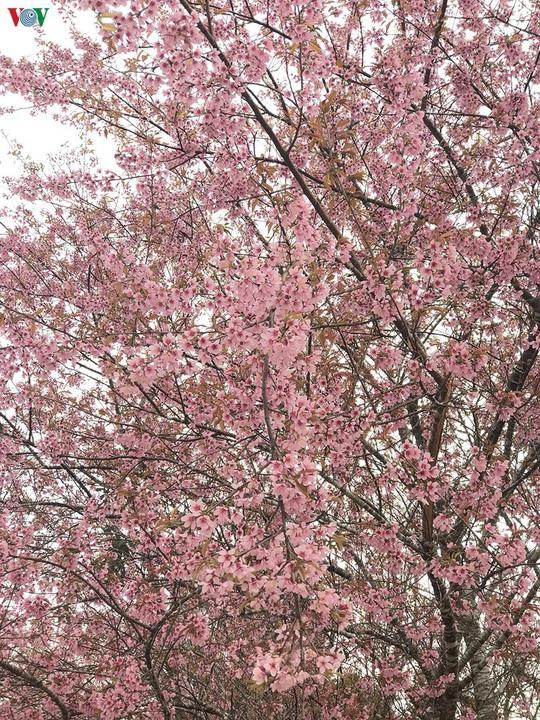 Đẹp ngất ngây hoa anh đào trên cao nguyên Măng Đen, Kon Tum - Ảnh 2.
