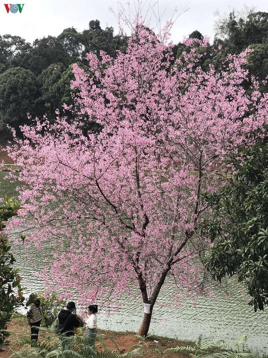 Đẹp ngất ngây hoa anh đào trên cao nguyên Măng Đen, Kon Tum - Ảnh 3.