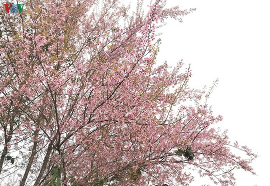 Đẹp ngất ngây hoa anh đào trên cao nguyên Măng Đen, Kon Tum - Ảnh 4.