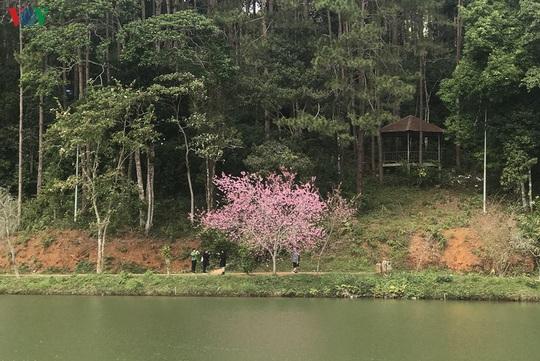 Đẹp ngất ngây hoa anh đào trên cao nguyên Măng Đen, Kon Tum - Ảnh 5.