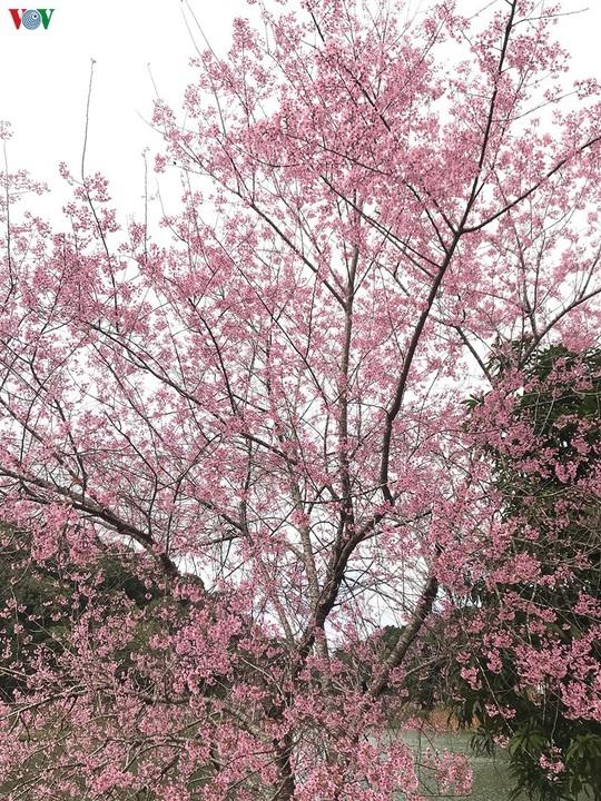 Đẹp ngất ngây hoa anh đào trên cao nguyên Măng Đen, Kon Tum - Ảnh 6.
