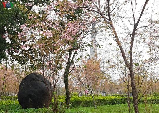 Đẹp ngất ngây hoa anh đào trên cao nguyên Măng Đen, Kon Tum - Ảnh 7.