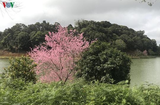 Đẹp ngất ngây hoa anh đào trên cao nguyên Măng Đen, Kon Tum - Ảnh 8.