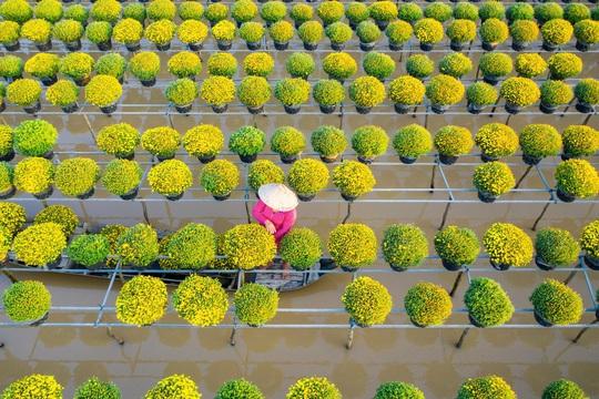 Vườn cúc Sa Đéc rợp sắc vàng những ngày cuối năm - Ảnh 7.