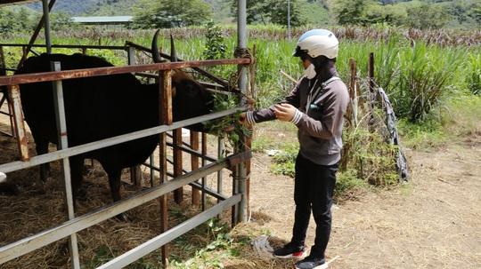 Giải cứu khẩn cấp đàn bò tót F1 gầy trơ xương, chờ chết đói - Ảnh 5.
