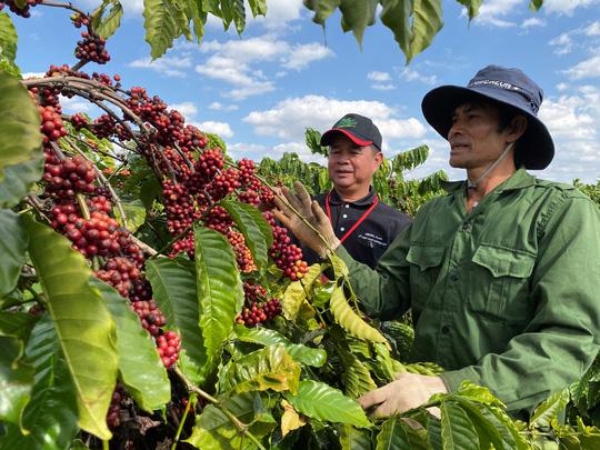 Nông dân đua nhau trồng cà phê năng suất cao nhưng lợi nhuận thấp - Ảnh 1.