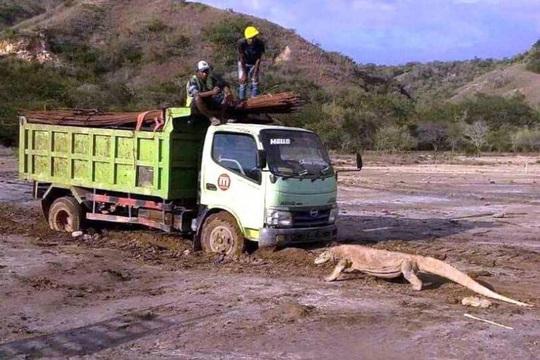 Indonesia dậy sóng vì rồng Komodo chặn đầu xe tải - Ảnh 1.