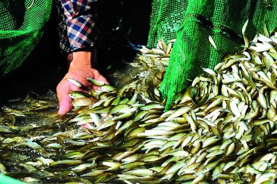 Con cá sông Mê Kông - Ảnh 2.